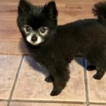 Bentley, handsome Pomeranian dog belonging to owners of Willow Farm Pet Services in Vermont